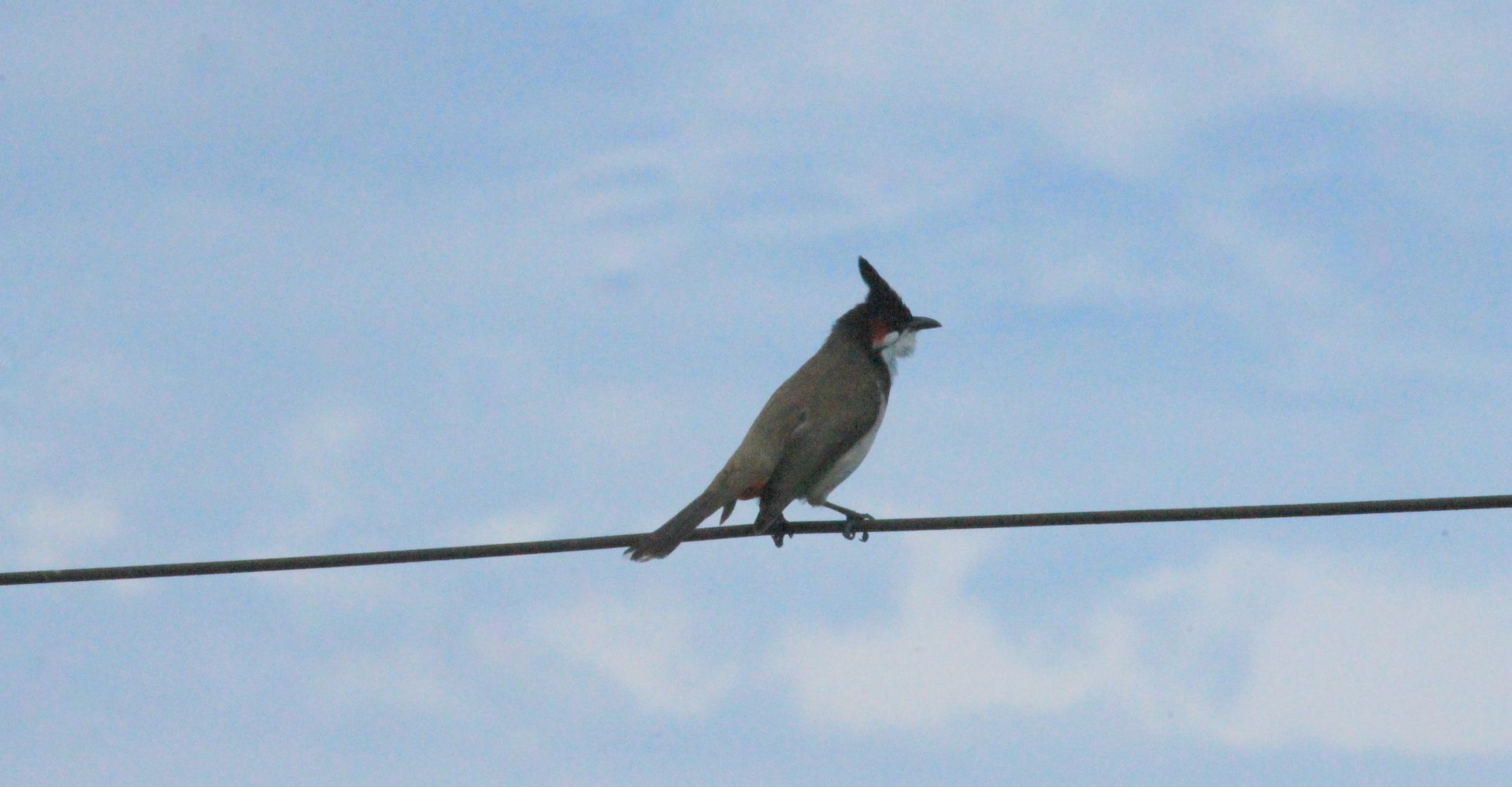 Picture of aBlack-crested Bulbul perched on a wire in Lucknow
