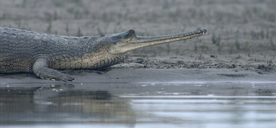Picture of a Crocodile at Lucknow Zoo park