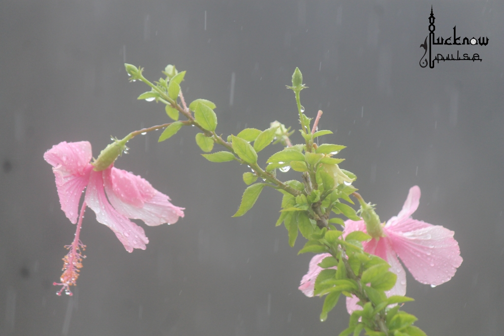 Pic of Hibiscus flower soaked in rain. Courtesy: LucknowPulse.com the Lucknow blog.